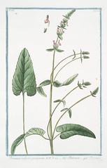 Wood betony. Betonica vulgaris, purpurea = Bettonica = Bettoine. [Wood Betony]  Hortus Romanus..1772-1793.