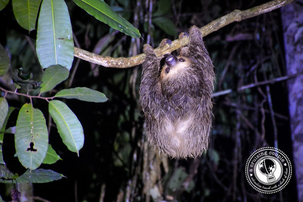 Sloth in the Brazilian Amazon
