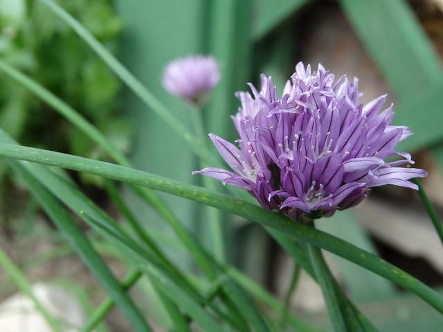 Metélőhagyma virága