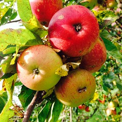 Gloster apples