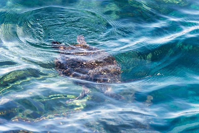 御蔵島 アオウミガメ