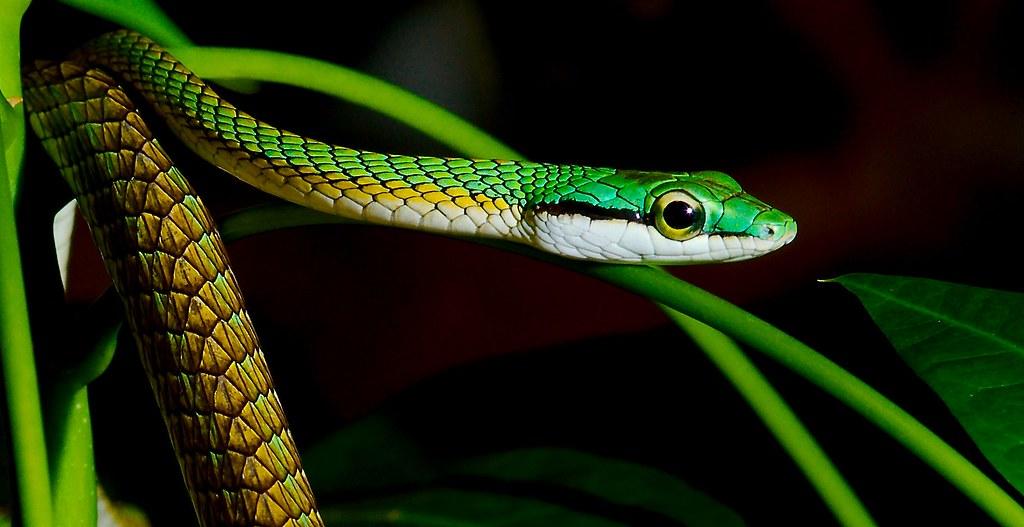 Parrot Snake (Leptophis ahaetulla)_1_v2