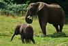 DSC_0498 Sutton - Baby African Elephant