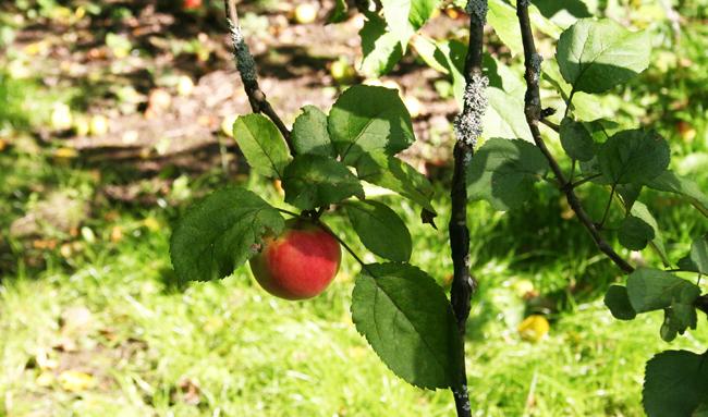 Omenapuilla7