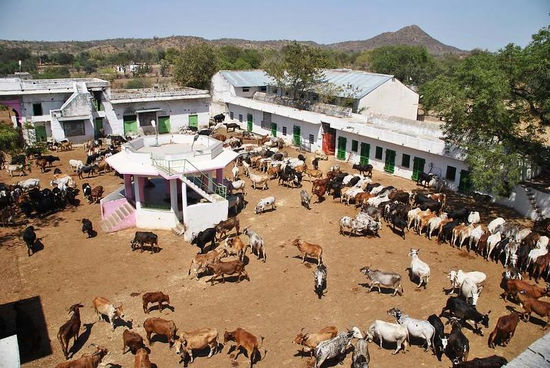 177 casa de vacas en Natwara (10)