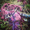 This looks like Autumn Joy sedum, but the leaves are purple!