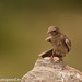 uttampegu posted a photo:	Ashy Crowned Sparrow Lark in Ghas, Udaipur