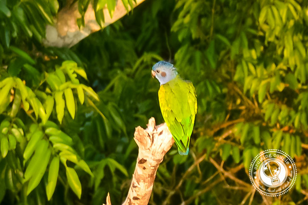 Blue Headed Parrot Brazilian Amazon