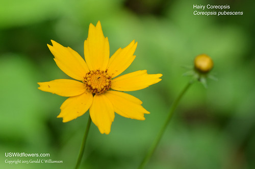 Hairy Coreopsis - Coreopsis pubescens