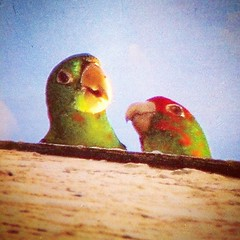 These #wildparrots hung out on my roof when I lived in California. #oldphoto #nostalgia