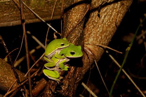 諸羅樹蛙母蛙體型較大,有利於將公蛙背下樹繁殖。(攝影:吳仁邦)