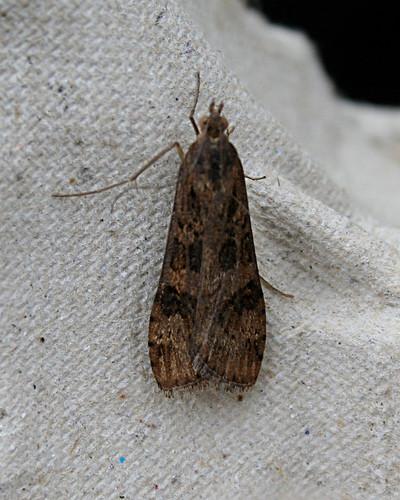Rush Veneer Nomophila noctuella Tophill Low NR, East Yorkshire September 2014