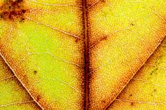 Yellow leaf close up