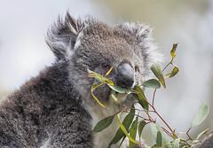 Koala 2016-12-05 (5D_32A1778)