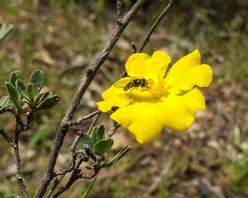 Hoary Guinea Flower (Hibbertia obtusifolia) with pollinator