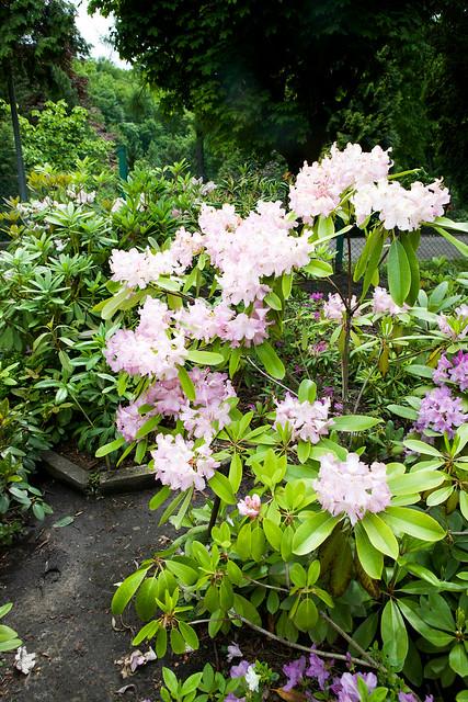 pink rhododendron. Botanical garden. Lviv, Ukraine
