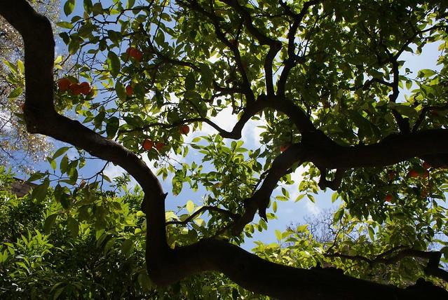 Orangers à Barcelone, santa creu dans le Raval