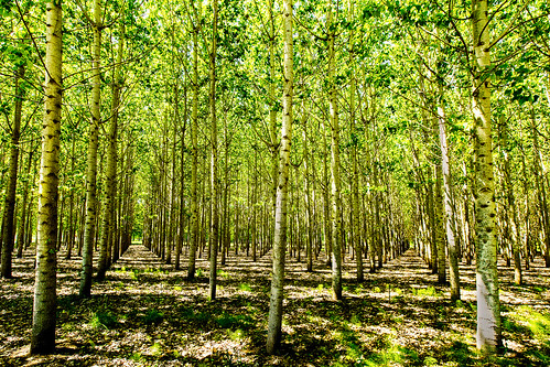 trees lewiscounty poplartreeplantation cityofchehalis