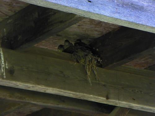 nestlings3