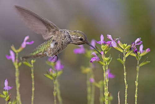bird hummingbird ave colibrí annashummingbird calypteanna colibrídeanna