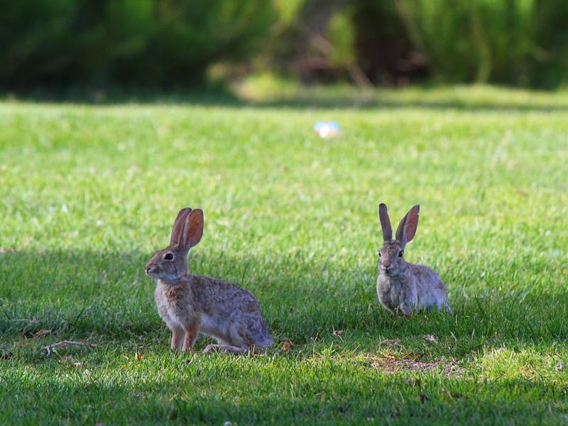 IMG_3817 Desert Cottontail Rabbit