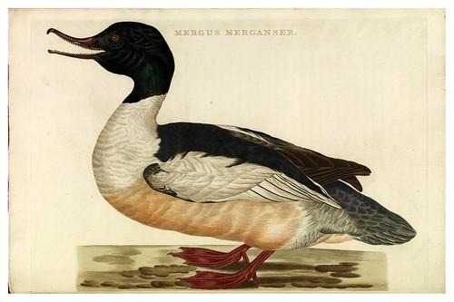 010-Ganso buzo- Nederlandsche vogelen- Nationale bibliotheek van Nederland