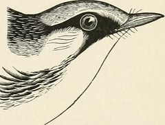 "Image from page 380 of ""Key to North American birds. Containing a concise account of every species of living and fossil bird at present known from the continent north of the Mexican and United States boundary, inclusive of Greenland and lower California,"