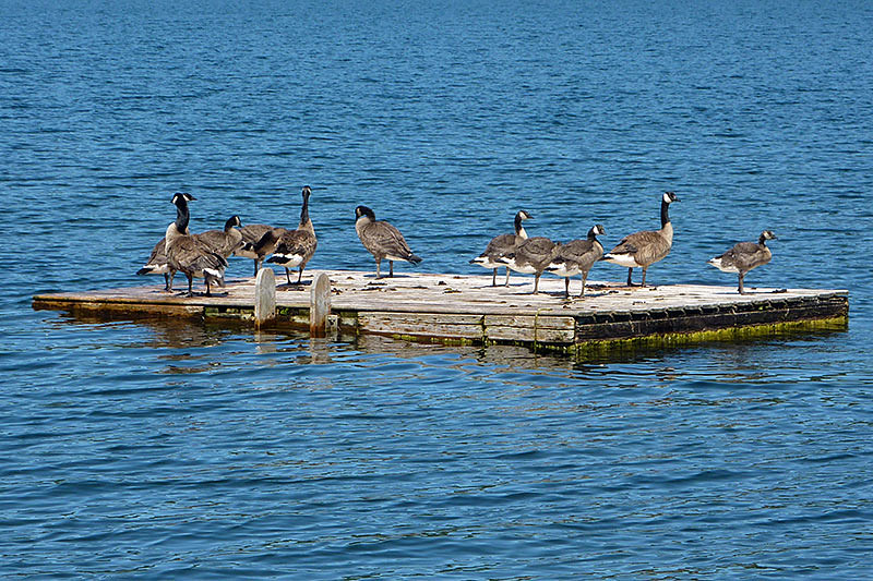 Canada Geese on St. Marys Lake, Saltspring Island, Gulf Islands, Georgia Strait, British Columbia, Canada