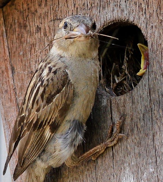 Sparrow with bug