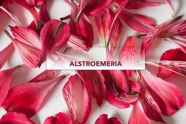alstroemeria-1