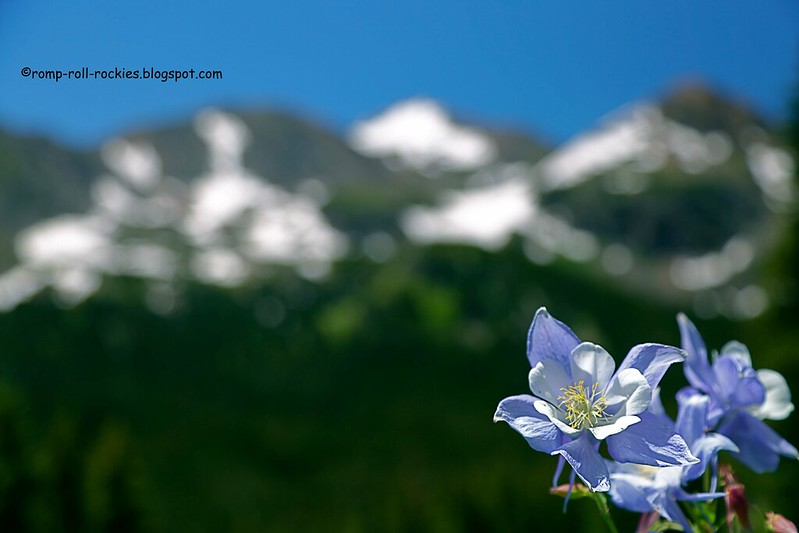 Alpine Columbines