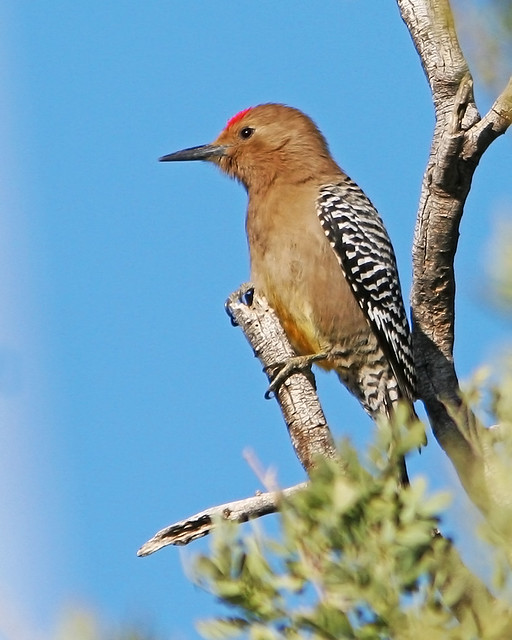 Gila Woodpecker_9369