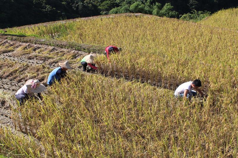 吉拉米代部落在吉哈拉艾上的水稻田,收割季節到了,族人出動米粑流。