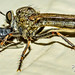 Robber Fly Punishment