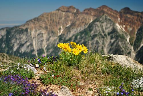 mountains utah wasatch hiking wildflowers cutleafbalsamroot