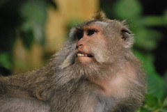 baboon(0.0), tufted capuchin(0.0), animal(1.0), monkey(1.0), mammal(1.0), fauna(1.0), japanese macaque(1.0), old world monkey(1.0), new world monkey(1.0), wildlife(1.0),