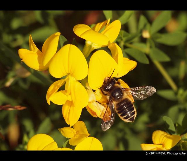 Megachilid bee on Bird's-foot trefoil (Lotus corniculata)
