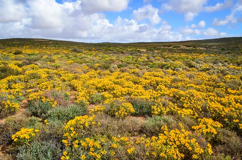 Yellow flowers of the Western Cape