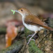 Small photo of White-chested Babbler