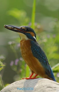 河岸邊的翠鳥。(攝影:潘鈺婷)