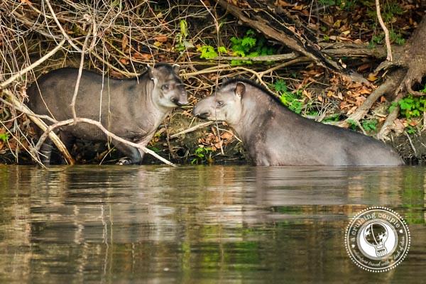 Tapirs Brazilian Amazon