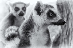 raccoon(0.0), animal(1.0), mammal(1.0), monochrome photography(1.0), fauna(1.0), lemur(1.0), close-up(1.0), monochrome(1.0), black-and-white(1.0), procyonidae(1.0), wildlife(1.0),