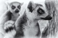 animal, mammal, monochrome photography, fauna, lemur, close-up, monochrome, black-and-white, procyonidae, wildlife,