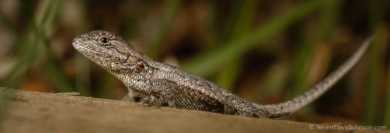 Eastern Fence Lizard at Braley Pond, Virginia