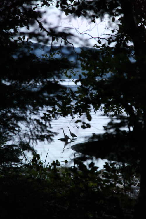 birds seen through trees, Kasaan, Alaska