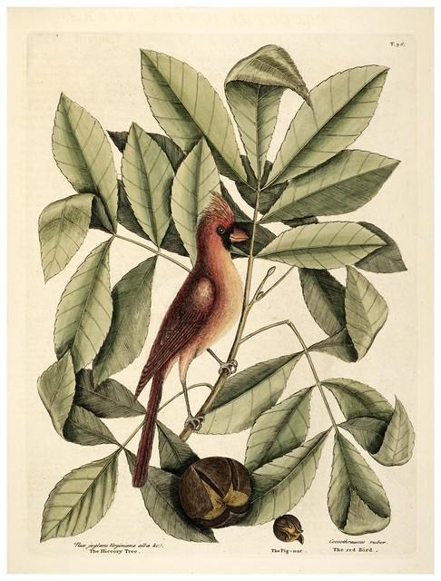 005- El Cardenal-Natural History of Carolina, Florida and the Bahama Islands-Vol1-1754