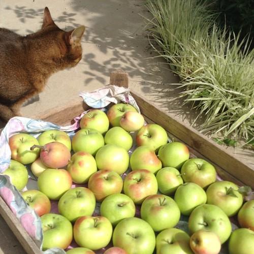 Снимаем яблочки))) Миуччия на контроле))) #старыйкрым #abyssinian
