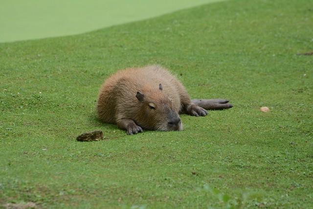 Capybara im Gaia Zoo