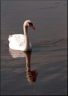 Swan On Hatchetts Pond