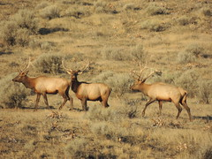 animal, prairie, deer, plain, herd, fauna, elk, savanna, grassland, wildlife,